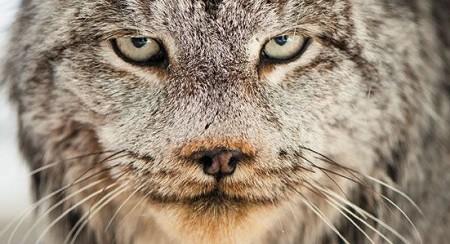 Lynx-Montana-631.jpg