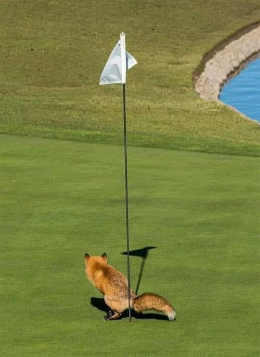 fox golf.jpg