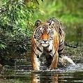 tigerpill